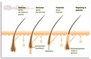 Этапы роста волос